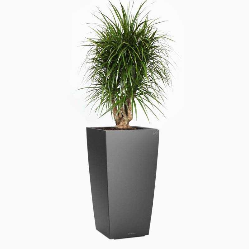 Branched-Dracaena - Cubico Anthracite