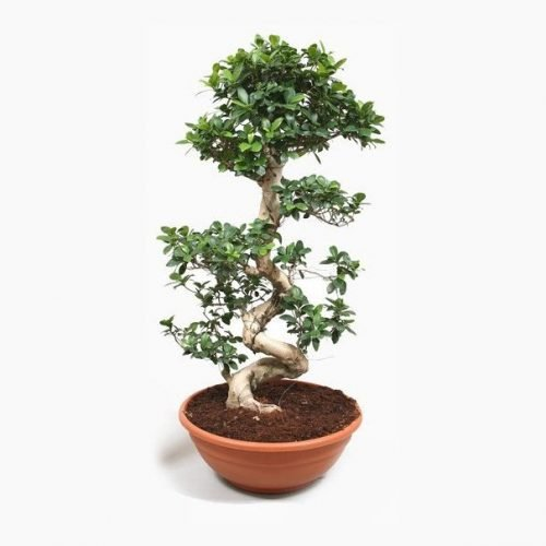 Ficus Ginseng - Indoor Plant