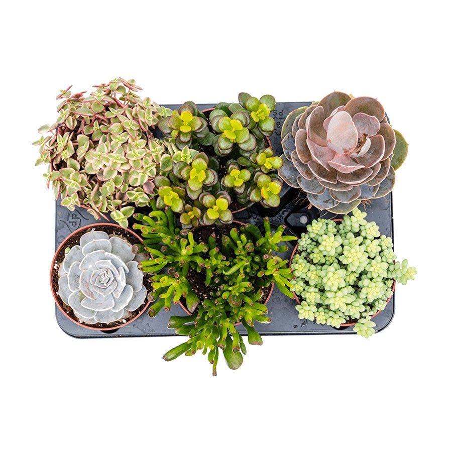 Mixed Succulents 6 in a tray
