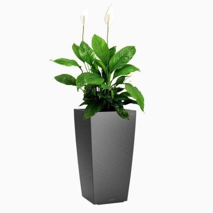 Spathiphyllum (Peace Lily) - Cubico