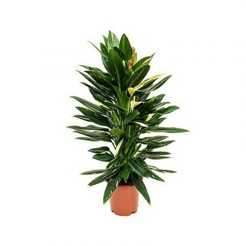 Philodendron Cobra on a Moss Pole Height 80cm Pot 19cm