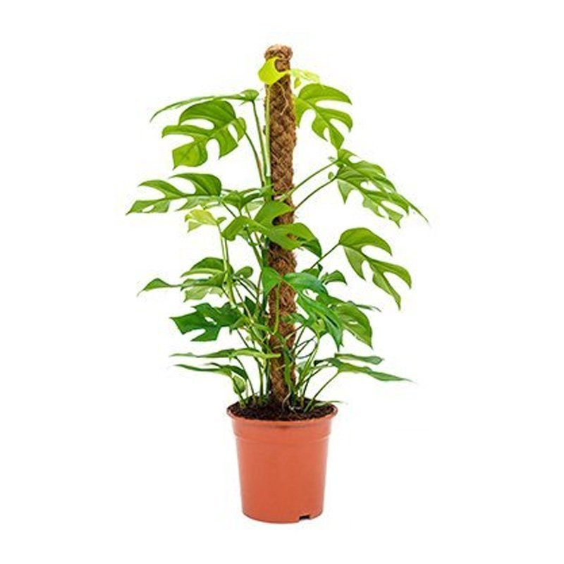 Philodendron Minima on a Moss Pole