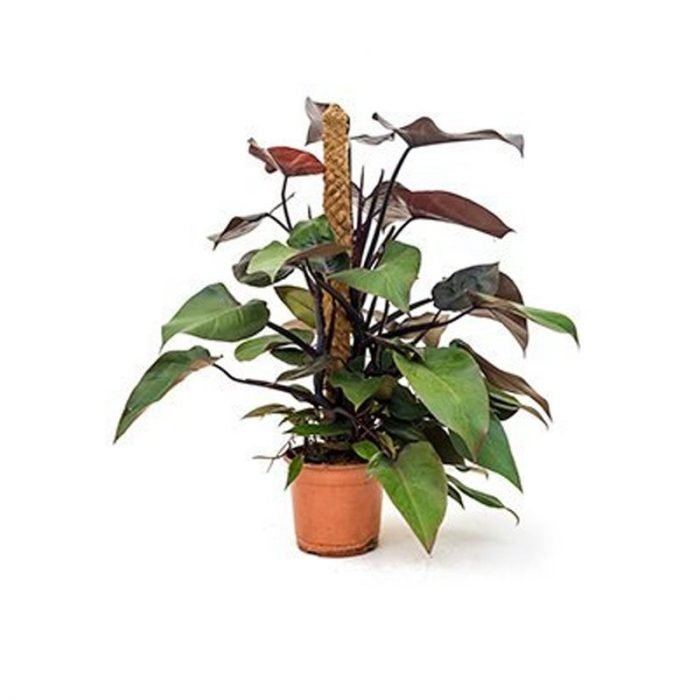 Philodendron-Royal-Queen