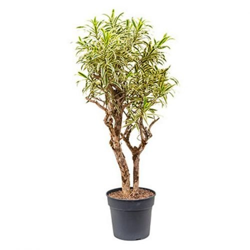 """Pleomele """"Song of India"""" - Indoor Plant"""