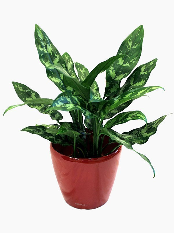 Aglaonema Maria (Chinese Evergreen)