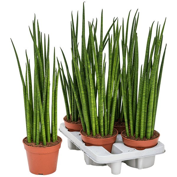 sansevieria cylindrico mikado in brown red grow pot